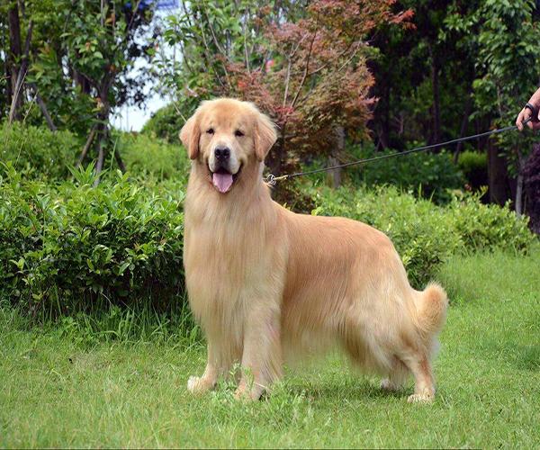 賽級金毛是什么意思 賽級金毛幼犬多少錢 賽級金毛平時訓練什么