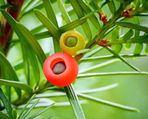 红豆杉果子