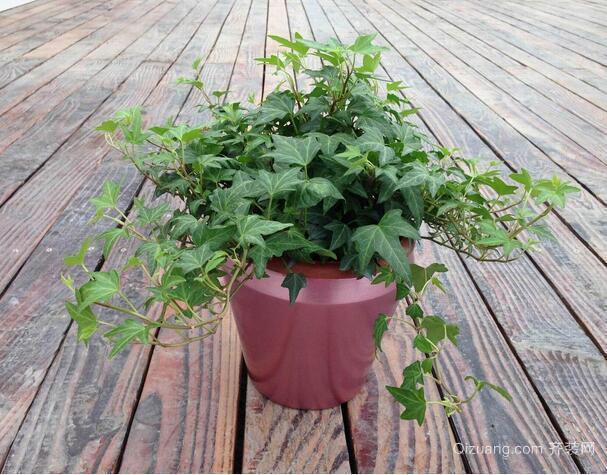 常春藤盆栽图片