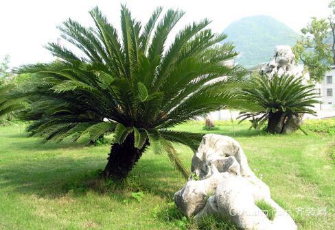 家居养殖巴西铁树 摆放风水不得不知