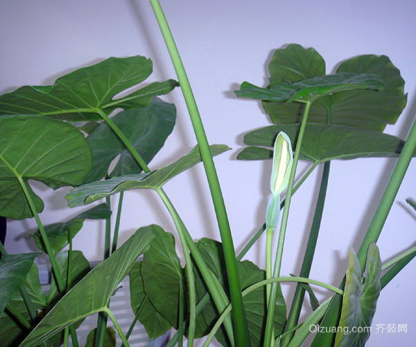 滴水观音的叶子下垂的原因