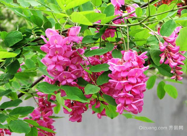 紫红色洋槐花