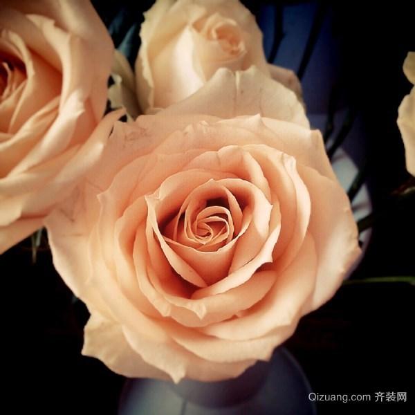 香槟色玫瑰