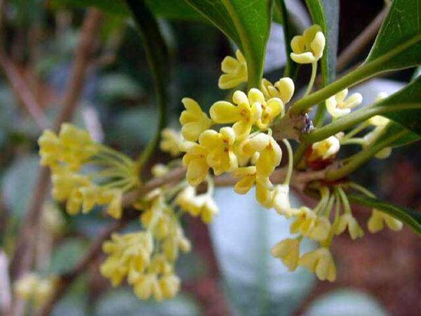 桂花的学名叫什么 桂花品种有哪些图片