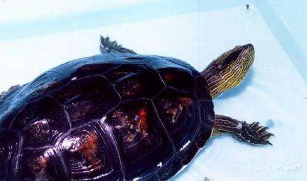 乌龟的常见种类以及乌龟皮肤病的防治