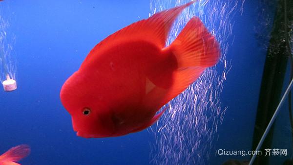 金刚鹦鹉鱼两大常见疾病不得不防图片