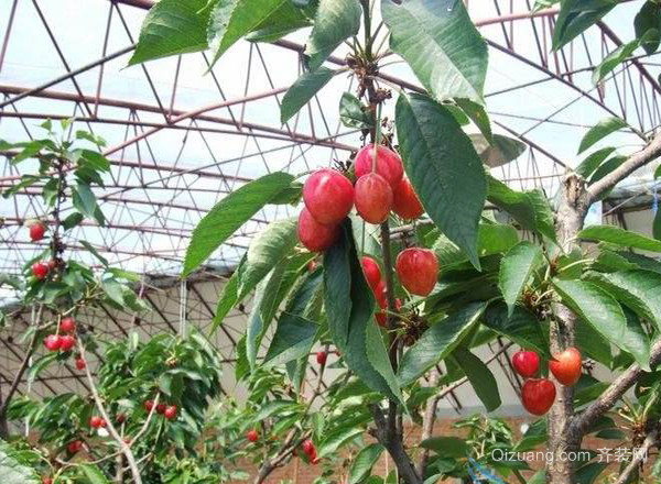 一,樱桃树浇水 1,花前水 发芽后开花前(3月中旬)进行,满足发芽,展叶图片