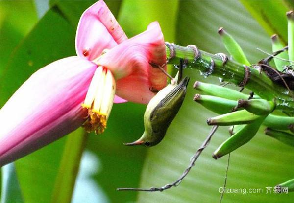 香蕉花的功效