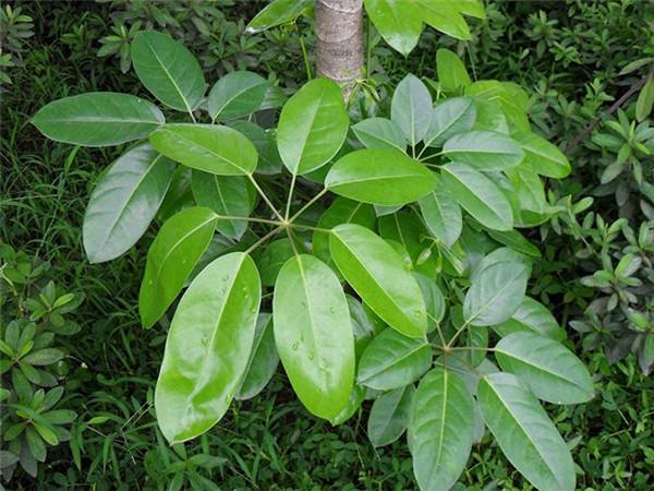 室内大叶子绿色植物介绍