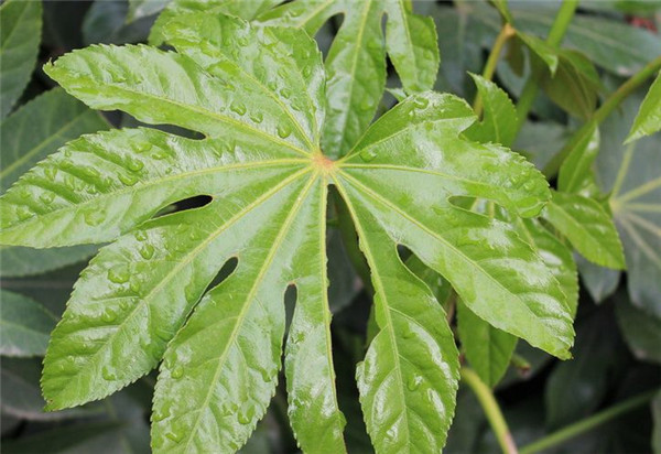 室内大叶子绿色植物