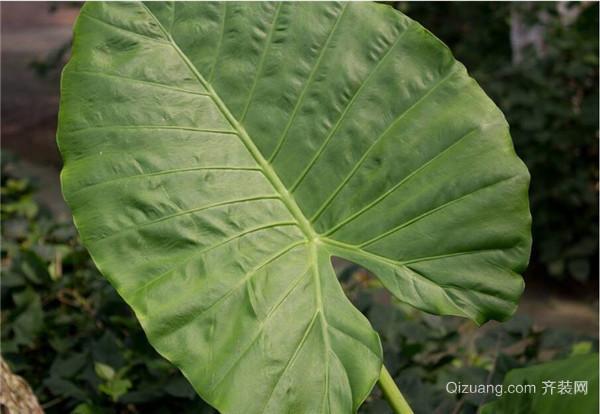 室内大叶子绿色植物有哪些