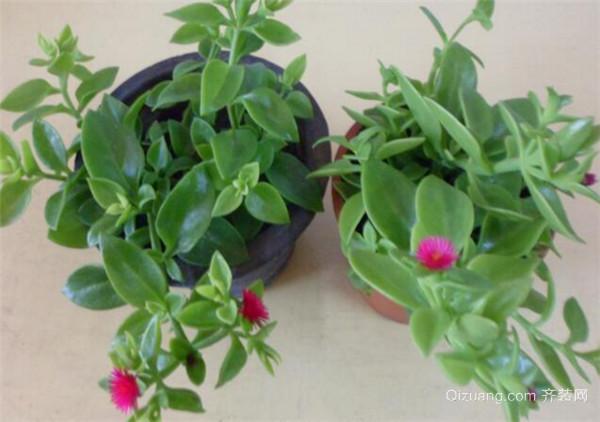 选材导购 植物 盆栽植物  > 口红花养殖方法和注意事项有哪些 一起来