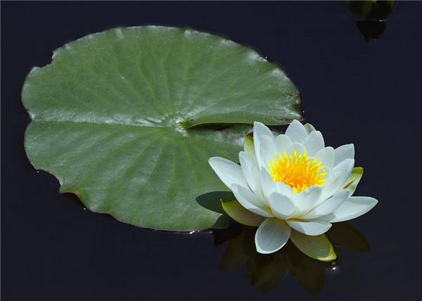 水生观赏植物—睡莲