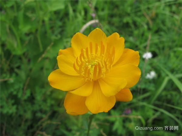 盆栽植物金莲花怎么养好