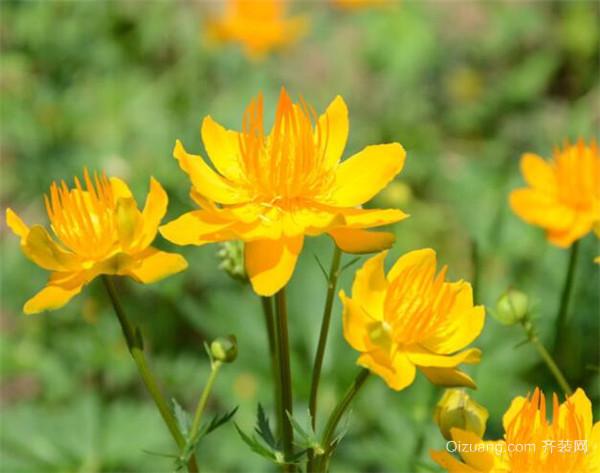 盆栽植物金莲花