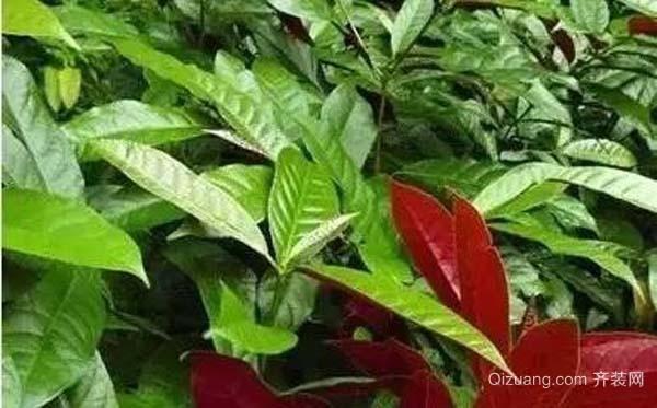 常见的致癌植物有哪些