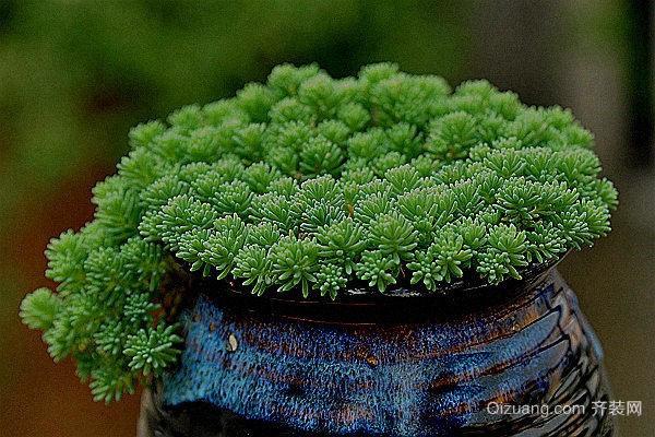 常见的护盆草有哪些