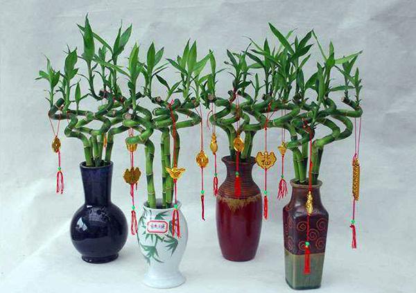 开运竹的养殖方法