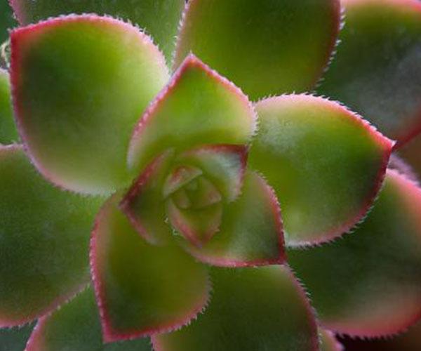 莲花掌养殖
