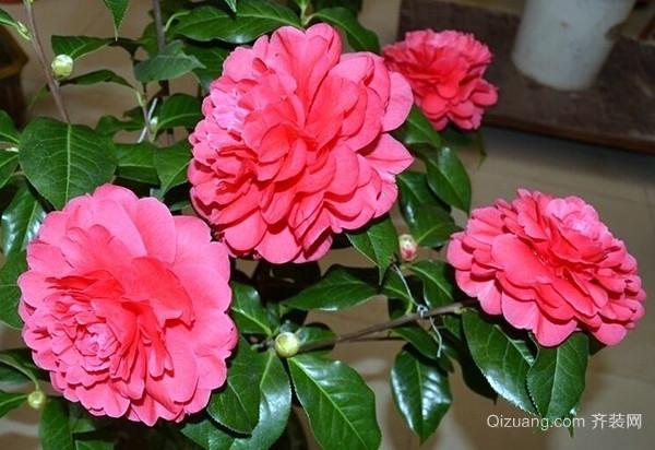 盆栽茶花的养护方法