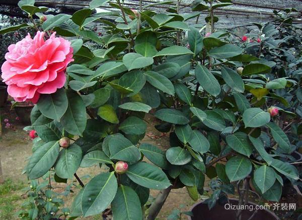 盆栽茶花的正确养护方法