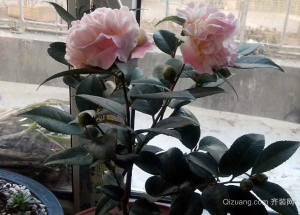 盆栽茶花养护