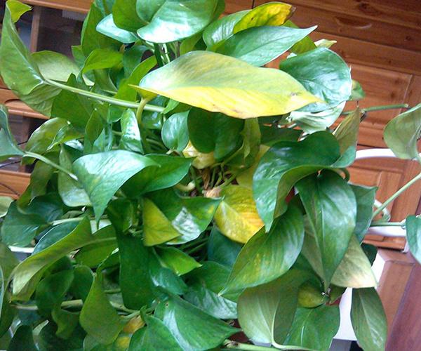 绿萝叶子发黄怎么办 找准问题对症下药图片