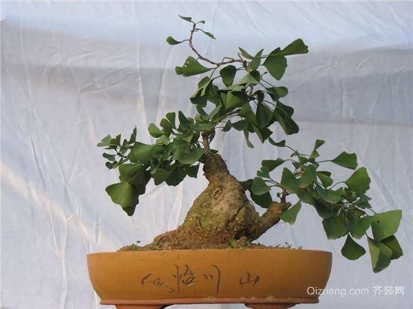 说到银杏我想大家一定都不陌生吧!银杏是非常珍贵的一种落叶乔木,其叶形美观,株型优美。所以古今中外人们常常把银杏应用在庭院、行道树或园林绿化方面。作为盆景出现时,具有非常不凡的欣赏价值和艺术价值。那么银杏盆景怎么制作更简单、有哪些比较常见的方法呢?本文就为大家简单的介绍一下!  一、植株培养 制作银杏盆景的取材可以选择人工繁育和山野挖掘。人工繁殖可采取播种、嫁接等方法获得素材,但要制作形态奇特、古老苍劲的盆景,建议还是采用山野采挖老桩的方法获取。由于野生的老银杏树基部会长出许多隆起的乳根,我们采掘时需要将这