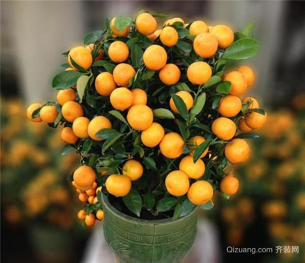 盆栽金桔老是掉叶子