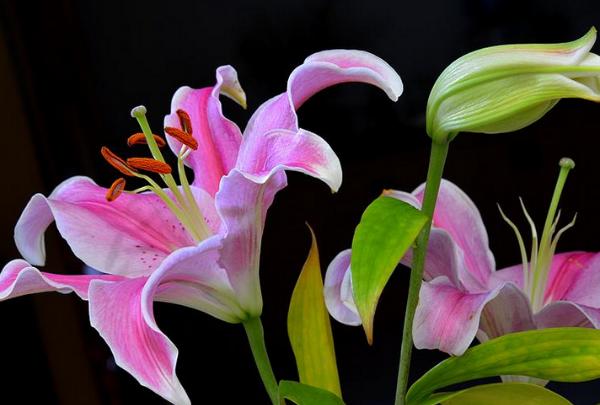 百合花怎么养 主要是这四个重点