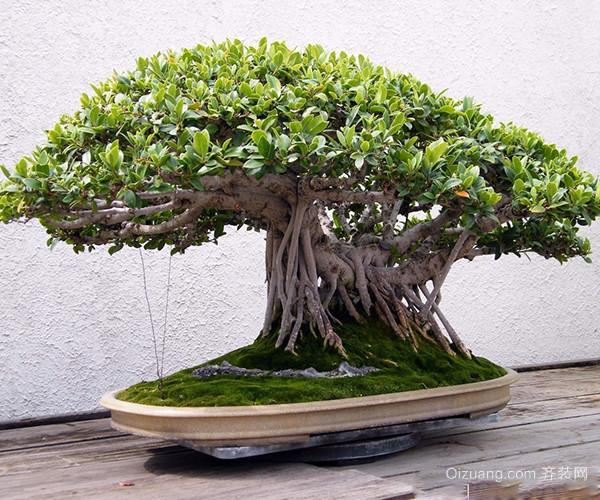 选材导购 植物 盆栽植物  > 家中榕树盆景如何修剪 多种方法哪个才最