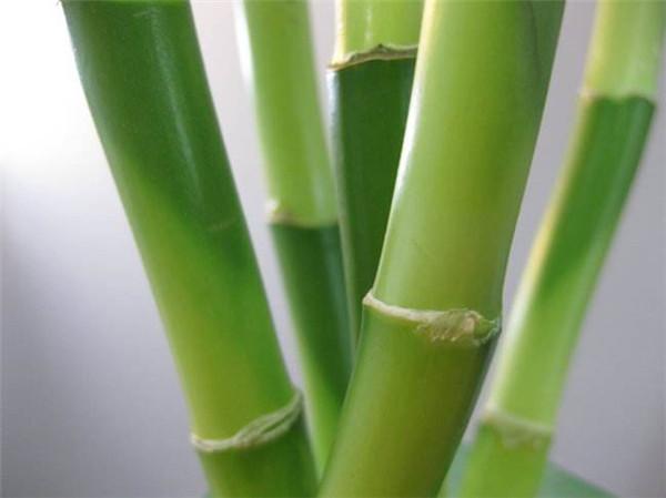 富贵竹怎么养