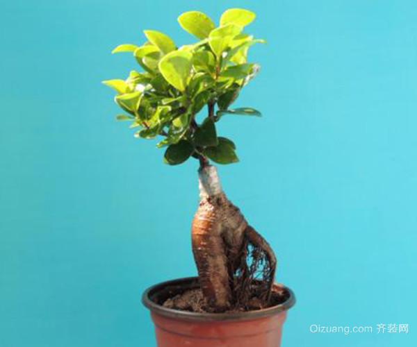 如何在家中养殖小榕树盆景 为你带来长寿吉祥好寓意