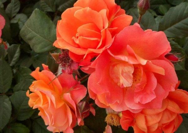 怎么养好盆栽月季 这六点是关键