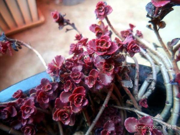小球玫瑰有哪些常见的养护方法