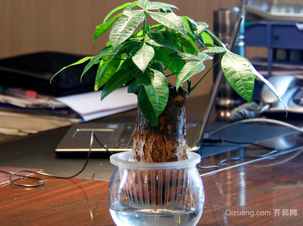 发财树的造型修剪方法详解
