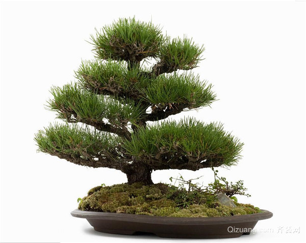 松树盆景日常应该如何养护好 要注意哪些呢
