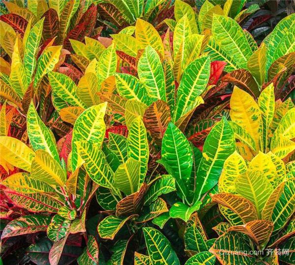 变叶木盆栽应该如何施肥 有哪些方法呢