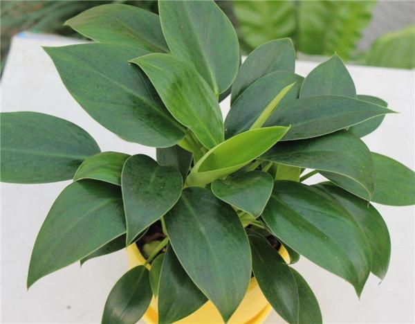 植物绿钻养殖