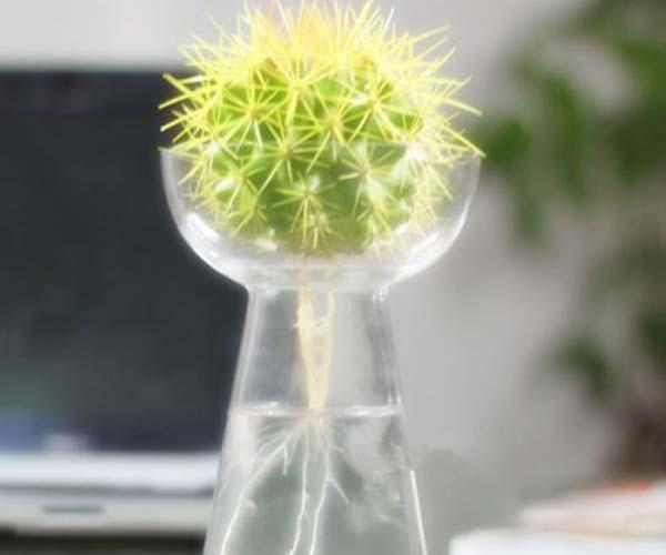 仙人球如何水培养殖