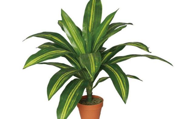 室内盆景植物有哪些
