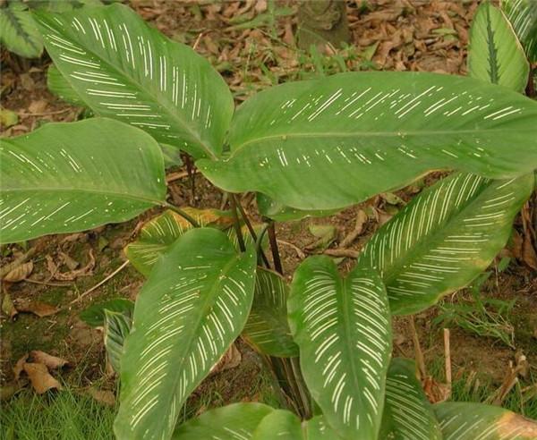 红羽竹芋应该如何养殖好 有哪些方法呢