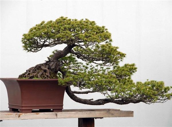 松树盆栽是如何制作的