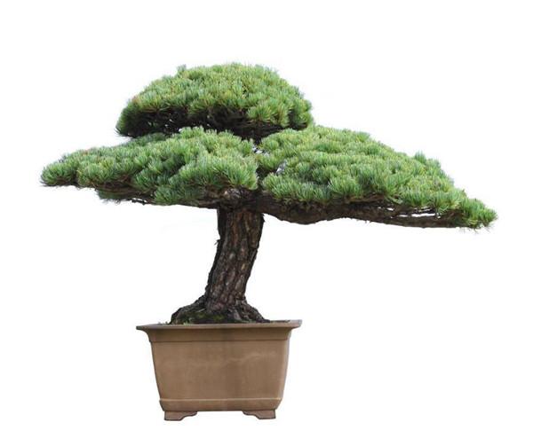 松树盆栽如何制作