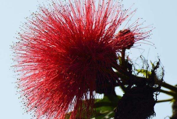养殖合欢花的要点