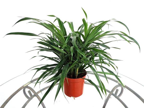 盆栽百合竹如何施肥