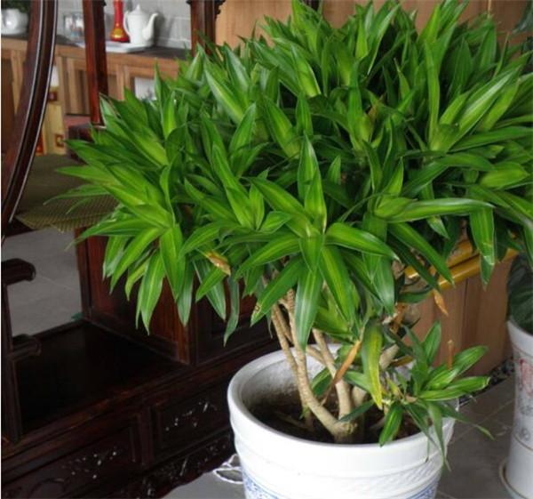 盆栽百合竹施肥