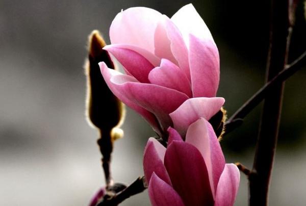 玉兰花有哪些作用