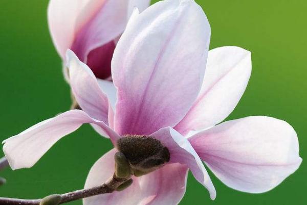 木兰花的养殖要点
