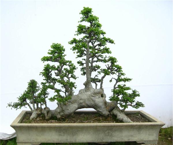 本地资讯 >榆树盆景树桩怎么采挖好 有哪些方法呢  野生榆树老桩的采